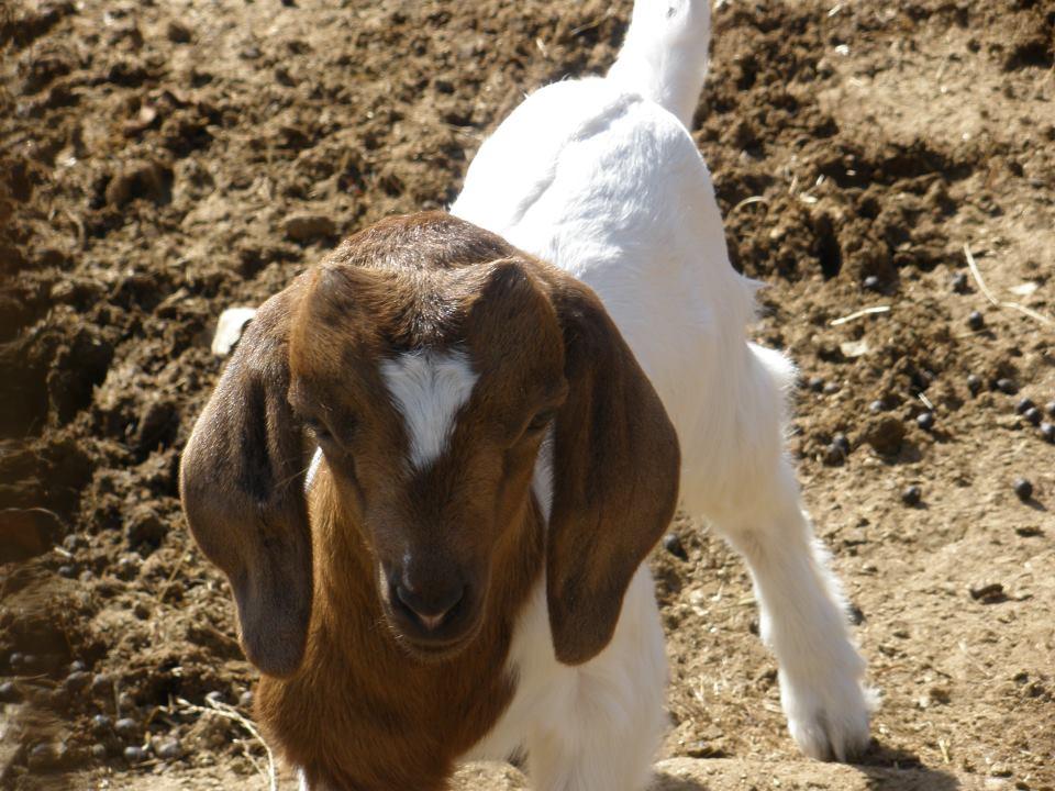 R Goats Goats R Us