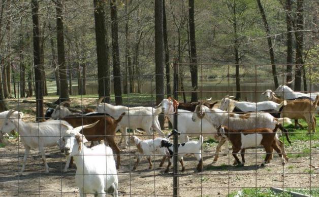goats-r-us-herd-virginia-goat-cheese