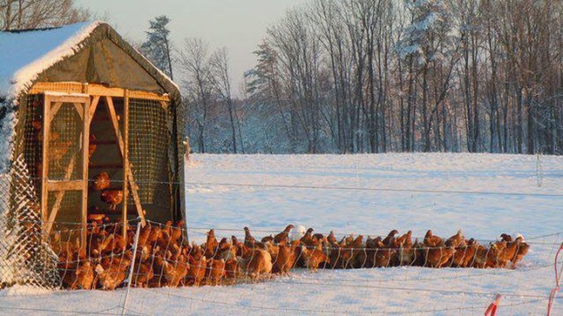 Ault's Family Farm chickens in snow