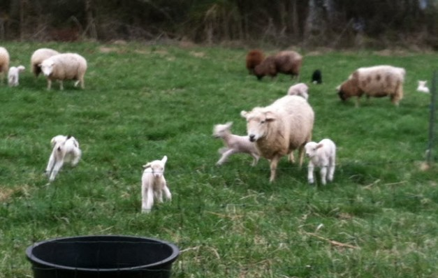 Lamb from Bethel Family Farm Cumberland County Virginia
