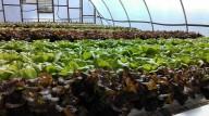 Rain or Shine Greenhouse Gardens Hydroponic lettuce in Richmond VA