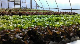 Rain or Shine Greenhouse Gardens Hydroponic lettuce in Richmond VA