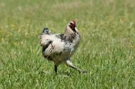 Chicken has a season